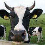 O abate dos animais para consumo