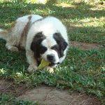 Sansão – o cão natureba