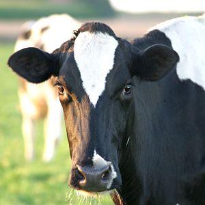 O mito do leite de vaca: saiba como substituí-lo – por Fernanda Santos